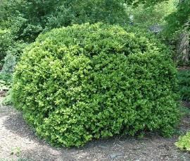 Buxus pitic glob 70-80cm