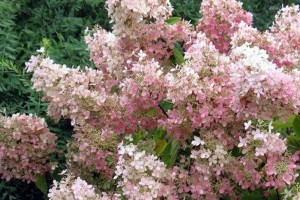 Hortensia paniculata Pink Lady C3