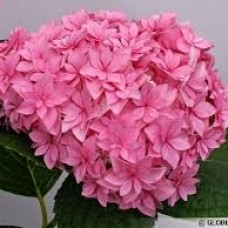 Hortensia macrophyla You & Me Perfection C3