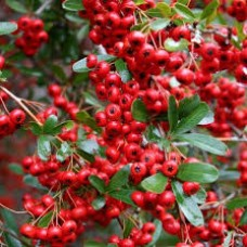 Pyracantha Red Cushion C5