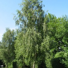 Mesteacăn 200cm+( bambus), 4/6, c35