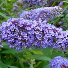 Liliacul de vara Dart's Papillon Blue C5