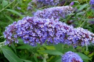 Liliacul de vara Dart's Papillon Blue C3