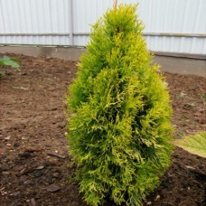 Thuja Golden Anne C3