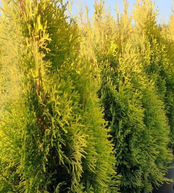 Thuja occidentalis Smaragd Gold C20