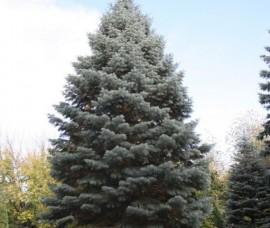 Bradut argintiu Violacea 200-250cm, T150