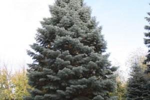 Bradut argintiu Violacea B 200-250cm
