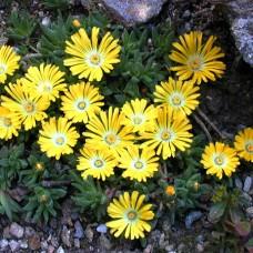 Delosperma congestum (plante de gheață)  C2