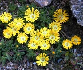 Delosperma congestum Yellow  (plante de gheață)  P9