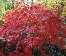 Artar japonez roșu Garnet C20