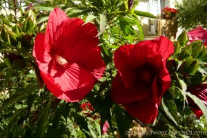 Hibiscus moscheutos C2 CRANBERRY CRUSH