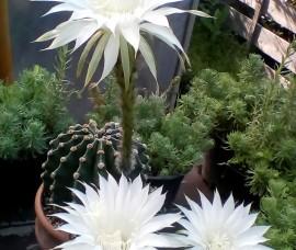 Cactus  C2