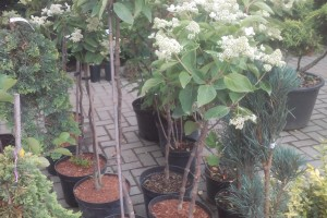 Hortensia paniculata pe tija C10