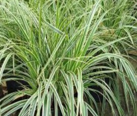 Carex morrowii Goldband C2