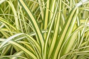 Carex oshimensis EverColor®'Eversheen' C1,5