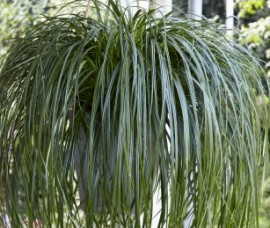 Carex 'Ribbon Falls'C 1,5