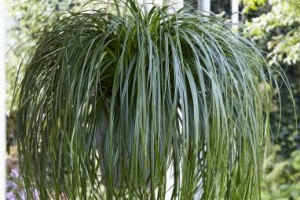 Carex 'Ribbon Falls'C4
