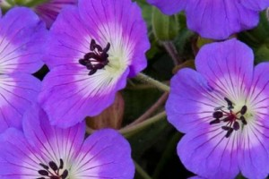 Geranium Rise and Shine C1,5