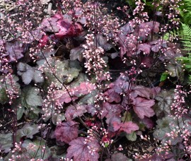 Heuchera Candy Apple C2