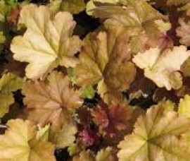 Heuchera  Coffee Bean  C2