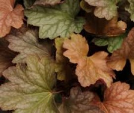 Heuchera    Watermelon C1,5