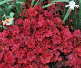 Heuchera   Cherry Cola C3