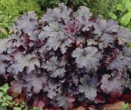 Heuchera Plum Crazy C2