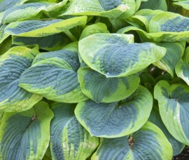 Hosta Frances Wiliams  C2