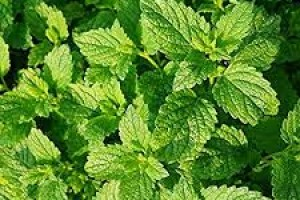 Menta piperita Peppermint C1,5