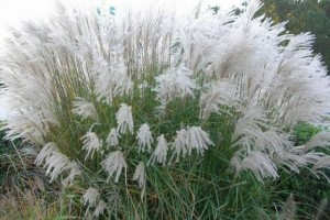 Miscanthus Grosse Fontane C10