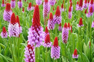 Primula vialii Red and Rose P9
