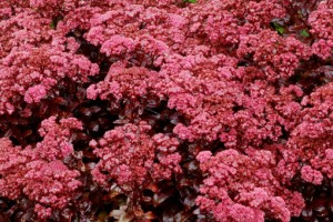 Sedum telephium Dark Magic C2