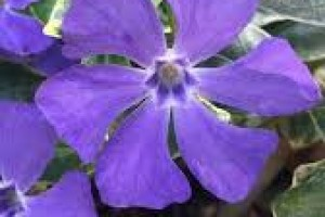 Vinca major Deep Blue P9