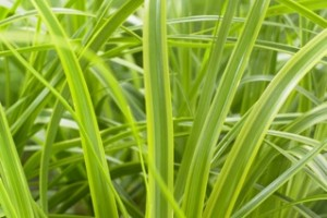 Carex oshimensis EverColor®'Everlime' C4