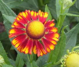 Helenium Can   Can C2
