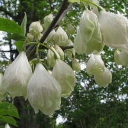 Copacul cu ghiocei  (Halesia carolina)