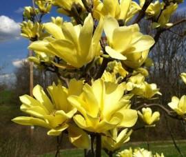Magnolia Yellow Bird >200 cm, C35