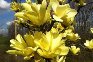 Magnolia Yellow Bird >300 cm