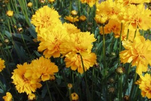 Coreopsis 'Early Sunrise 'C1,5