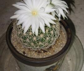 Cactus  P9