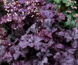 Heuchera Wild Rose C2/C3