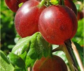 Agris rosu altoit la 90 cm Rna