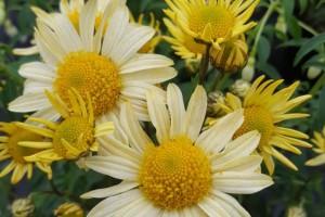 Arctanthemum arcticum 'Schwefelglanz'(margareta de toamna) C5