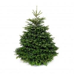 Abies Nordmanniana, soluție perfectă pentru bradul de Crăciun