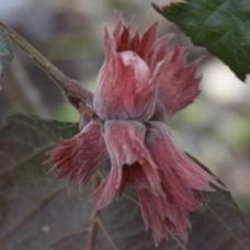 Alun rosu Rode Zellernoot C5