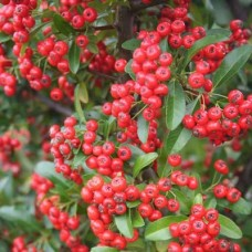 Pyracantha Red Column C2