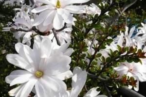 Magnolia stelată C10