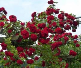 Trandafir urcator Amadeus Rha