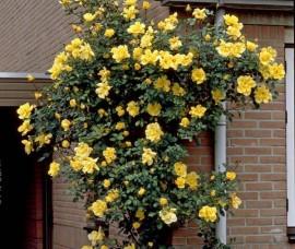 Trandafir urcator Golden Shower Rna