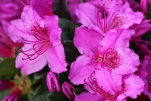 Rhododendron Konigstein C3